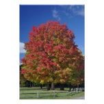 Red Maple tree in autumn colors, near Concord, Print