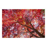 Red Maple Tree Print