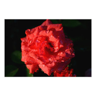 Red Miniature Rose with Raindrops Art Photo