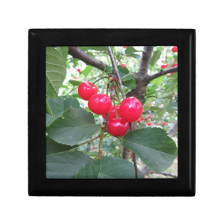 Red Montmorency cherries on tree in cherry orchard Gift Box