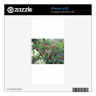 Red Montmorency cherries on tree in cherry orchard iPhone 4S Skins