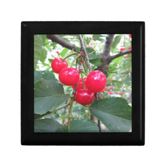 Red Montmorency cherries on tree in cherry orchard Jewelry Box