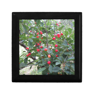 Red Montmorency cherries on tree in cherry orchard Keepsake Box