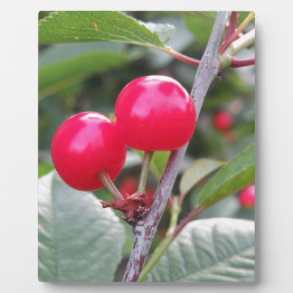 Red Montmorency cherries on tree in cherry orchard Plaque