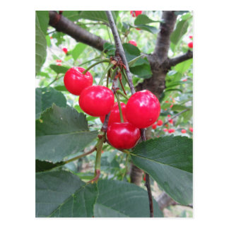 Red Montmorency cherries on tree in cherry orchard Postcard