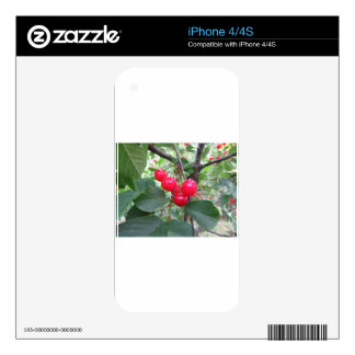 Red Montmorency cherries on tree in cherry orchard Skin For The iPhone 4