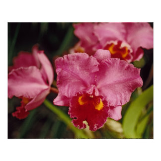 Red Moth Orchid Picture Poster