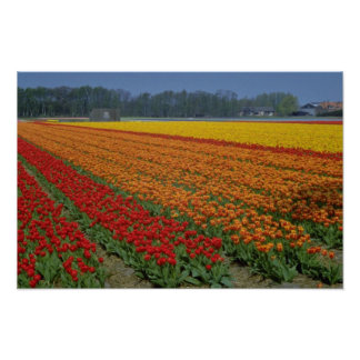 Red Multicolored strips of tulips, Netherlands flo Poster