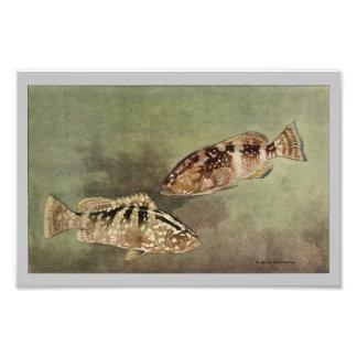 Red & Nassau Grouper Vintage Fish Print Photo Print