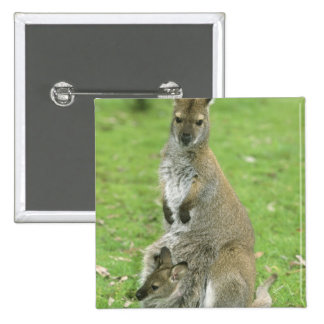 Red-necked Wallaby, Macropus rufogriseus), Button