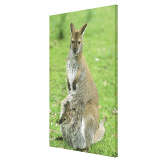Red-necked Wallaby, Macropus rufogriseus), Canvas Print