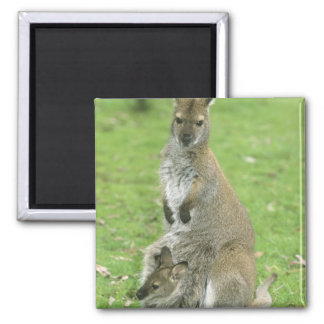 Red-necked Wallaby, Macropus rufogriseus), Magnet