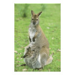 Red-necked Wallaby, Macropus rufogriseus), Photographic Print