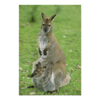 Red-necked Wallaby, Macropus rufogriseus), Poster