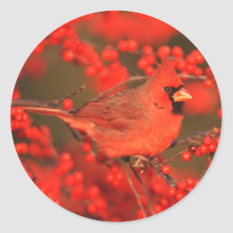 Red Northern Cardinal Male, IL Classic Round Sticker