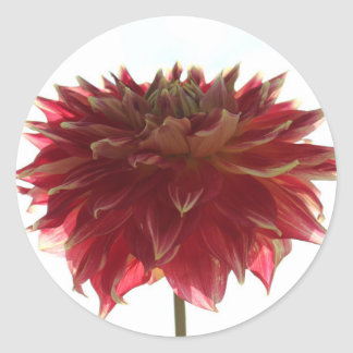 red, orange, and yellow dahlia stickers