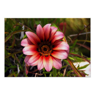Red orange pink daisy with water droplets poster