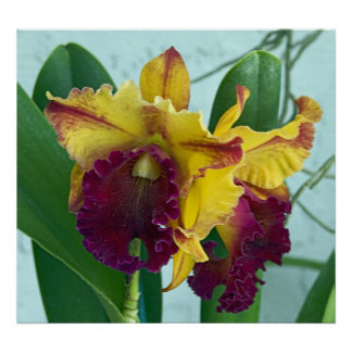 Red Orchid Cataleya Poster