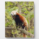 red-panda-003 placas para mostrar