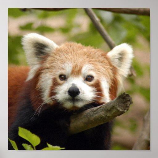 red-panda-005 impresiones