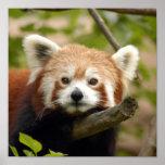 red-panda-005 posters