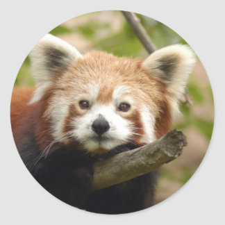red-panda-007 pegatinas redondas