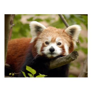 red-panda-007 post card