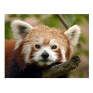 red-panda-010 postcard