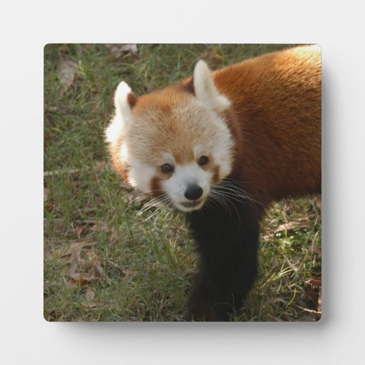 red-panda-015 display plaque