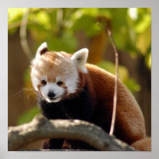 red-panda-022 póster