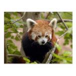 red-panda-023 postal