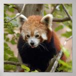 red-panda-024 posters