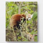 red-panda-025 placas para mostrar