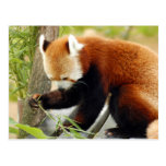 red-panda-029 postal
