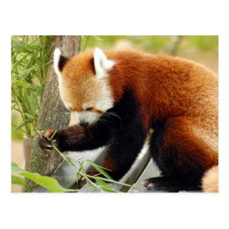 red-panda-029 tarjeta postal