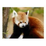 red-panda-030 postal