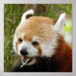 red-panda-032 posters