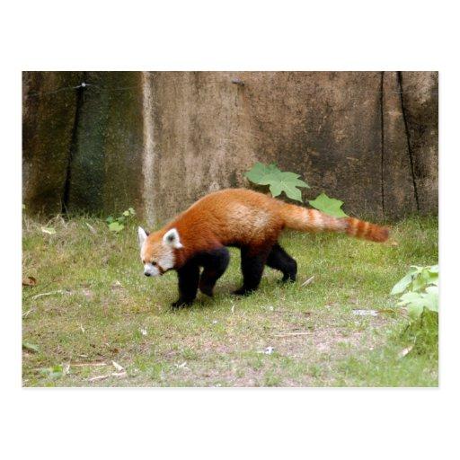red-panda-042 postal