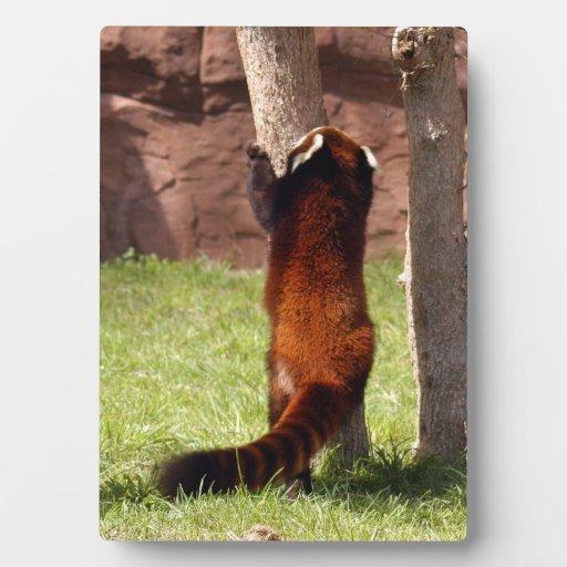 red-panda-045 placas para mostrar