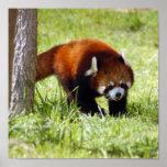 red-panda-049 impresiones