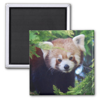 Red Panda 2 Inch Square Magnet