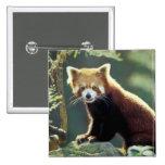 Red Panda Ailurus fulgens) Button