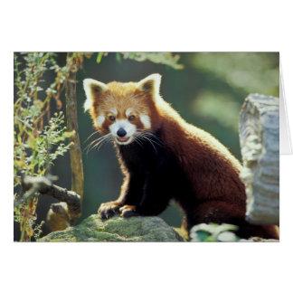 Red Panda Ailurus fulgens) Greeting Cards