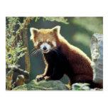 Red Panda Ailurus fulgens) Postcard