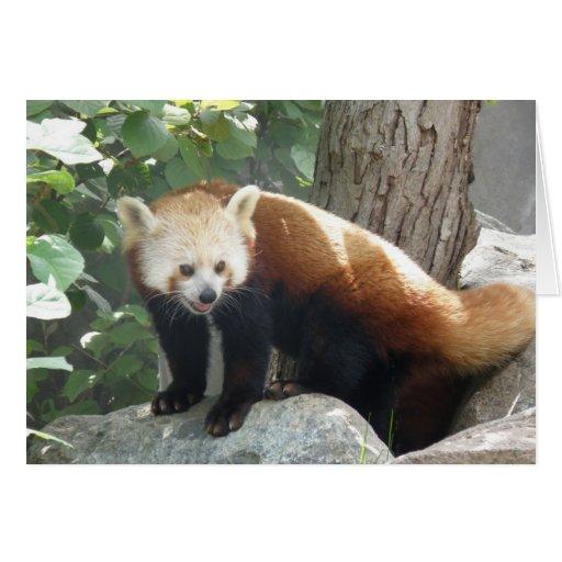 Red Panda Bear Card