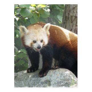 Red Panda Bear Postcard