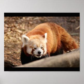 Red Panda bear Poster