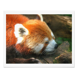 Red Panda Cleveland Zoo Photographic Print