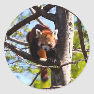 Red Panda climbing down tree Classic Round Sticker