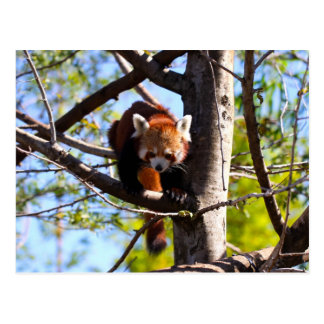 Red Panda climbing down tree Postcard